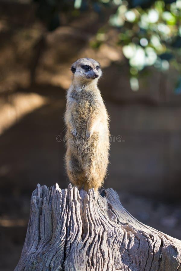 Meerkat,suricate scout royalty free stock images