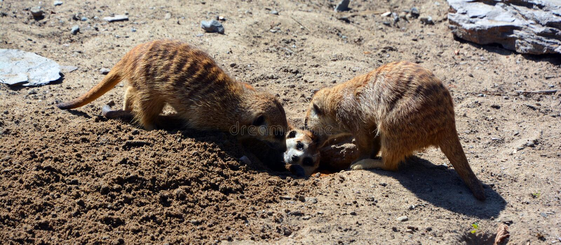 The meerkat or suricate i. S a small carnivoran belonging to the mongoose family live in Kalahari Desert in Botswana, the Namib Desert, Namibia and southwestern stock photo