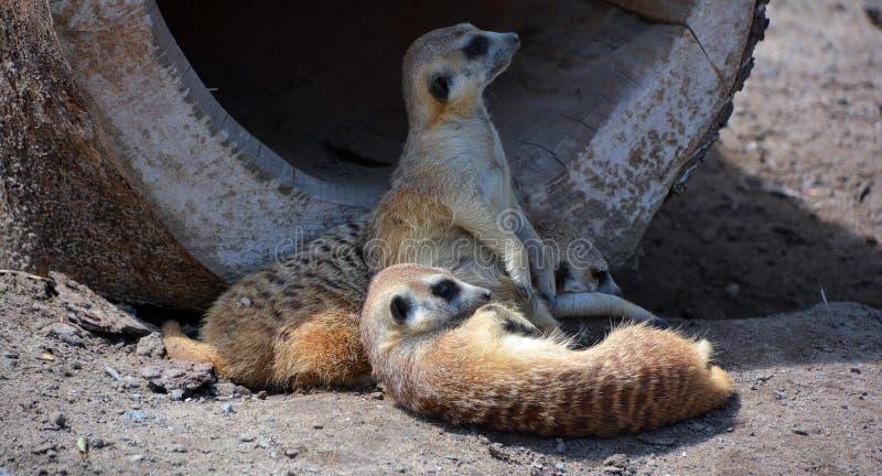 The meerkat or suricate. Is a small carnivoran belonging to the mongoose family live in Kalahari Desert in Botswana, the Namib Desert, Namibia and southwestern stock image