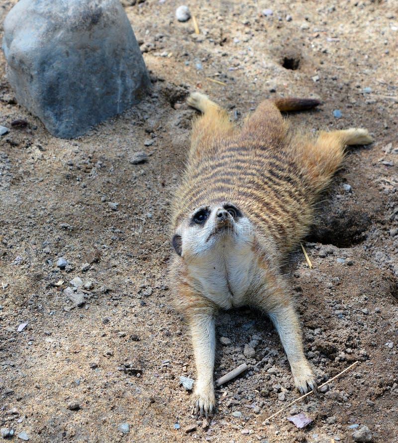 The meerkat or suricate. Is a small carnivoran belonging to the mongoose family live in Kalahari Desert in Botswana, the Namib Desert, Namibia and southwestern stock photo