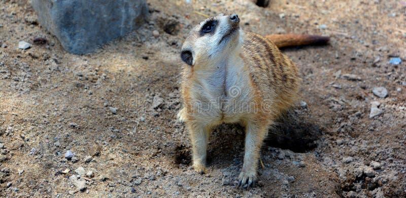 The meerkat or suricate. Is a small carnivoran belonging to the mongoose family live in Kalahari Desert in Botswana, the Namib Desert, Namibia and southwestern stock photos