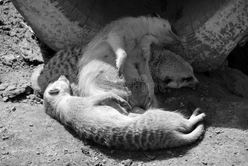 The meerkat or suricate. Is a small carnivoran belonging to the mongoose family live in Kalahari Desert in Botswana, the Namib Desert, Namibia and southwestern stock photography