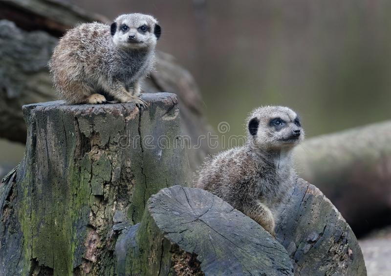 The meerkat or suricate is a small carnivoran belonging to the mongoose family. It is the only member of the genus Suricata. Meerkats live in all parts of the stock image