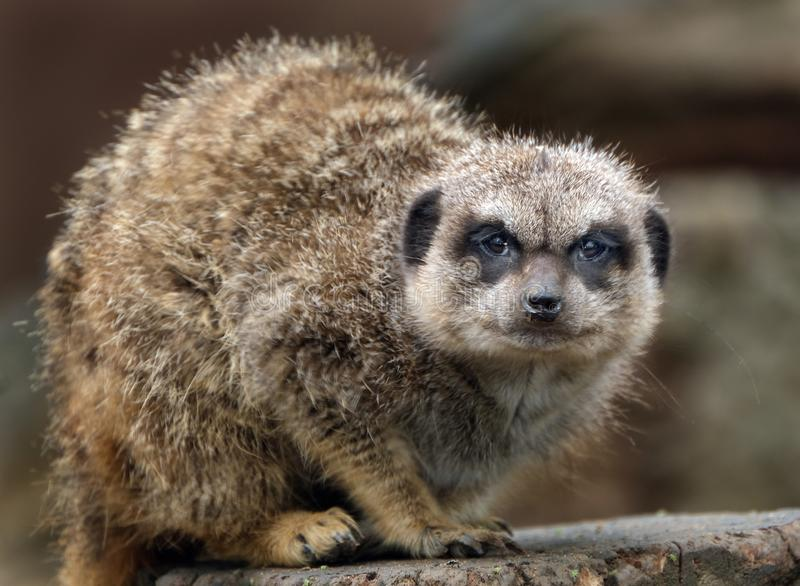 The meerkat or suricate is a small carnivoran belonging to the mongoose family. It is the only member of the genus Suricata. Meerkats live in all parts of the royalty free stock image