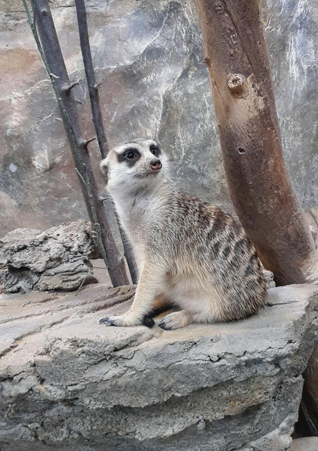 Meerkat or suricate, is a small carnivoran belonging to the mongoose family. The meerkat or suricate, is a small carnivoran belonging to the mongoose family royalty free stock images