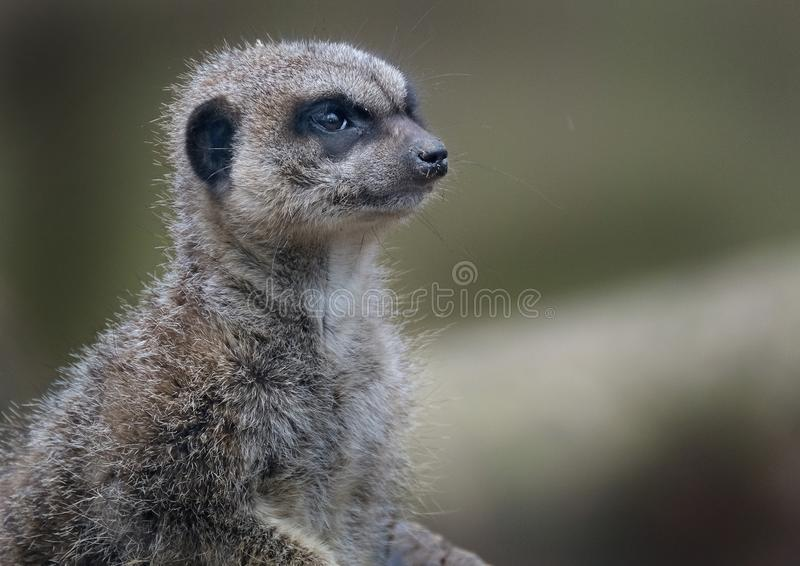 The meerkat or suricate is a small carnivoran belonging to the mongoose family. It is the only member of the genus Suricata. Meerkats live in all parts of the stock photos