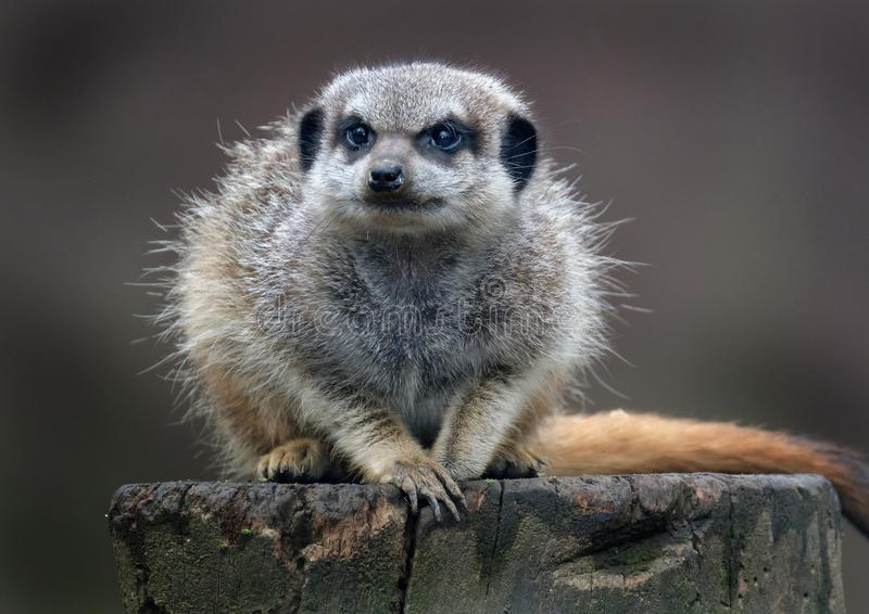 The meerkat or suricate is a small carnivoran belonging to the mongoose family. It is the only member of the genus Suricata. Meerkats live in all parts of the stock photo