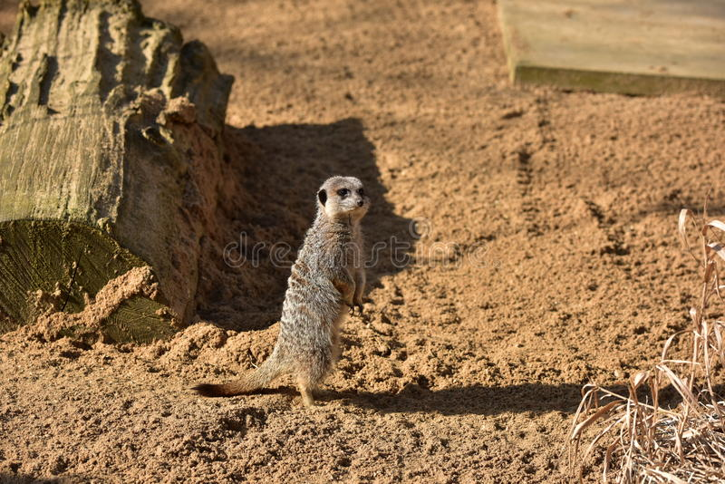 The meerkat. Or suricate is a small carnivoran belonging to the mongoose family. on the Sand watching, guarding his family, sun zoo, watching Animal stock photos