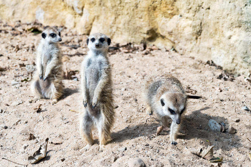 Meerkat or suricate. Meerkat standing guard. (meerkat or suricate stock images