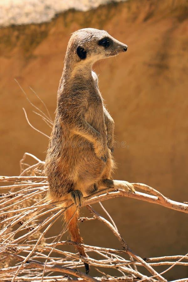 Meerkat (Suricate) standing upright as Sentry