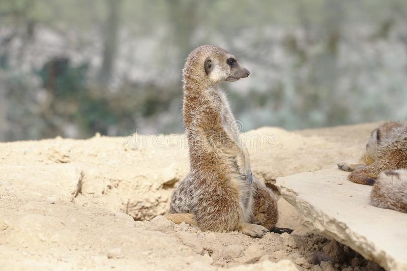 Meerkat or suricate standing watch stock images