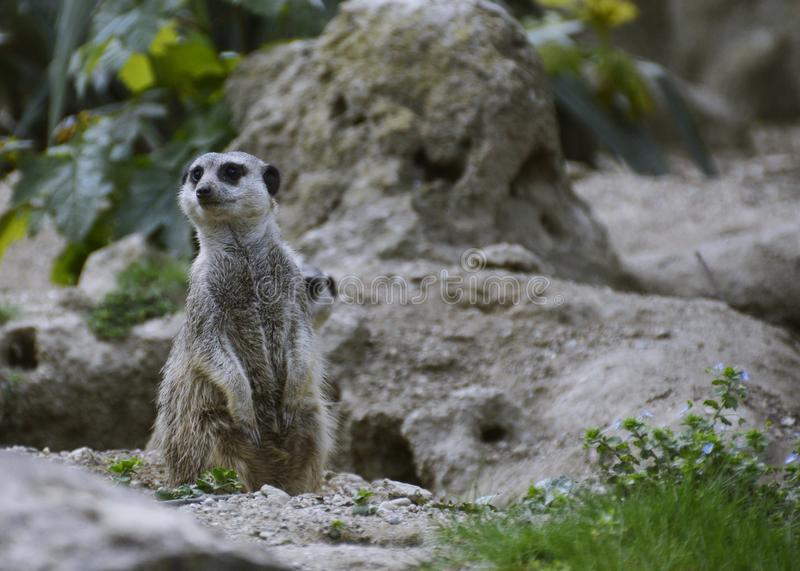 Meerkat of suricate Suricata-suricatta stock foto