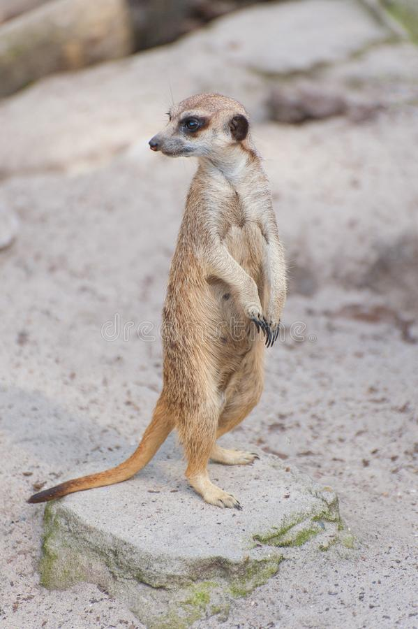 Meerkat suricate or Suricata suricatta looks out. Small carnivoran belonging to the mongoose family - Herpestidae. African native. Cute animal stock photos
