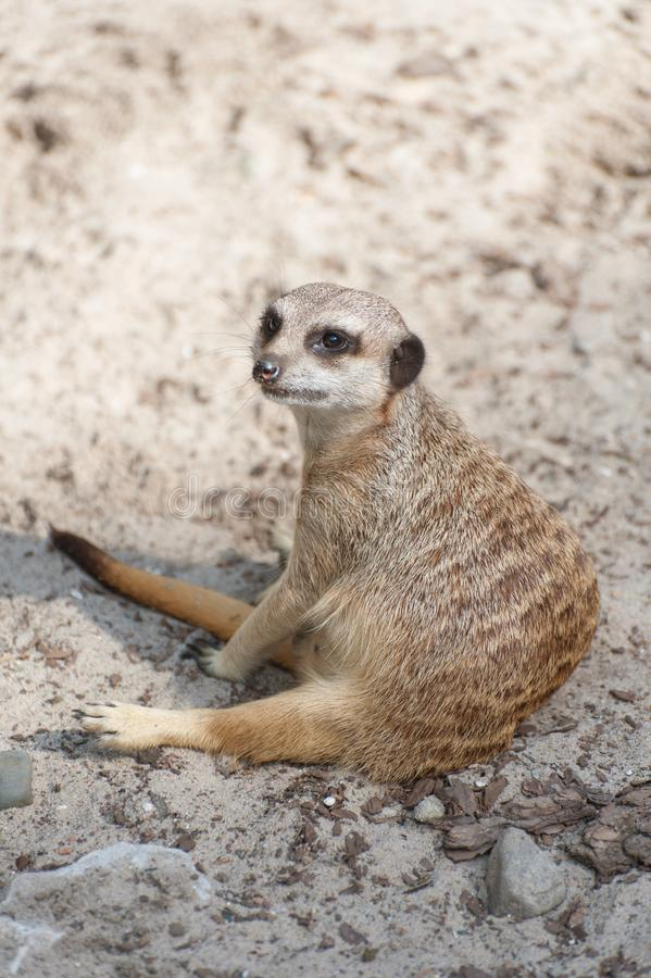 Meerkat suricate or Suricata suricatta sitting. Small carnivoran belonging to the mongoose family - Herpestidae. African native c. Ute animal stock image