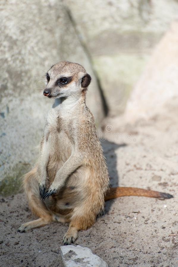 Meerkat suricate or Suricata suricatta. Small carnivoran belonging to the mongoose family - Herpestidae. African native cute. Animal royalty free stock photos