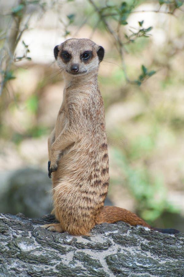 Meerkat suricate or Suricata suricatta. Small carnivoran belonging to the mongoose family - Herpestidae. African native cute. Animal royalty free stock image