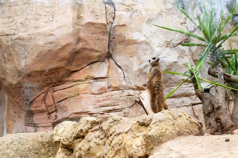 Meerkat or Suricate in a zoo. The meerkat or suricate Suricata suricatta is a small carnivoran belonging to the mongoose family Herpestidae. It is the only stock image