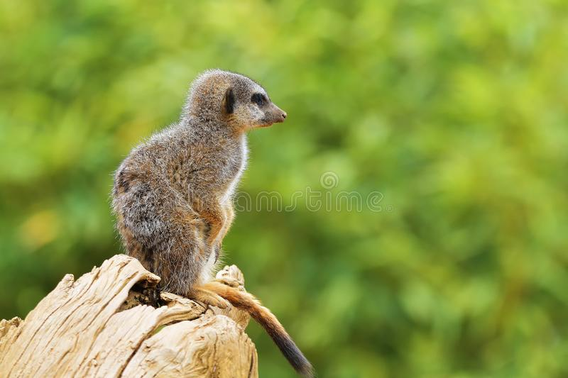 Meerkat or suricate Suricata suricatta is a small carnivoran belonging to the mongoose family Herpestidae. It is the only memb stock images
