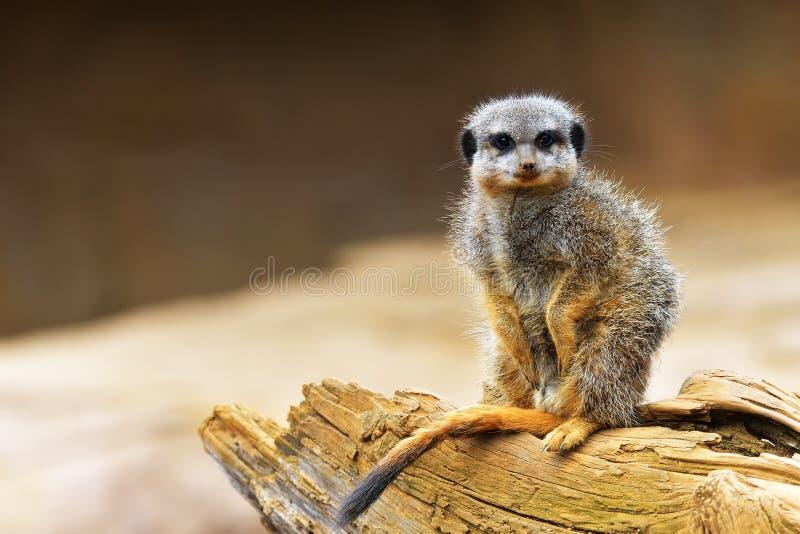 Meerkat or suricate Suricata suricatta is a small carnivoran belonging to the mongoose family Herpestidae. It is the only memb. The meerkat or suricate Suricata royalty free stock images