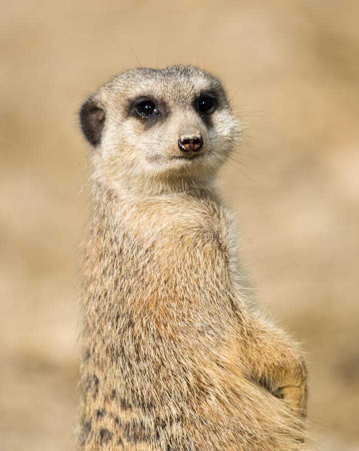 Meerkat portrait close up. The meerkat or suricate, Suricata suricatta, is a small carnivoran belonging to the mongoose family. Small mammals in the open stock image