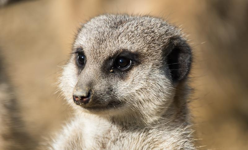 Meerkat portrait close up. The meerkat or suricate, Suricata suricatta, is a small carnivoran belonging to the mongoose family. Small mammals in the open stock photo