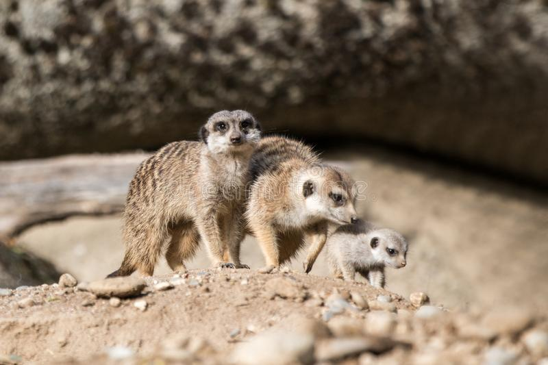 The meerkat or suricate Suricata suricatta is a small carnivoran, meercat family searching for food on sand dune, family of smal. L cute african mammals, scene royalty free stock images