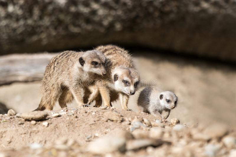 The meerkat or suricate Suricata suricatta is a small carnivoran, meercat family searching for food on sand dune, family of smal. L cute african mammals, scene stock image