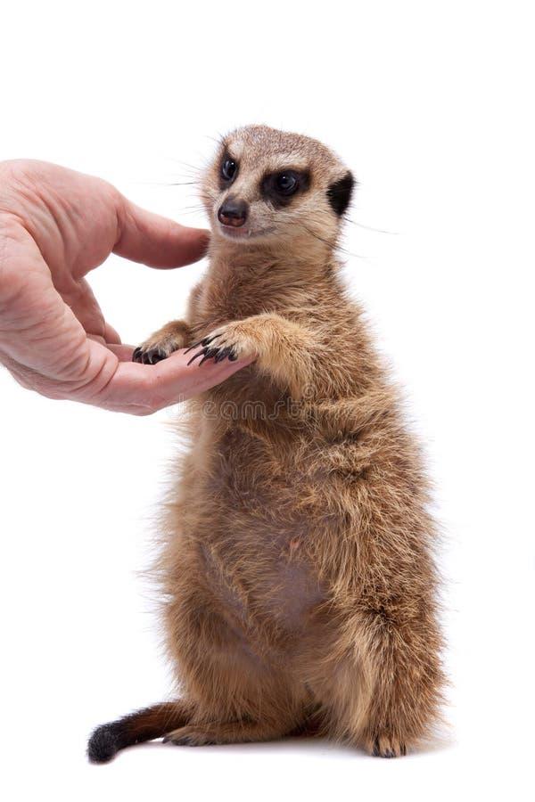 Meerkat of suricate werpt, 2 maand oud, op wit royalty-vrije stock foto