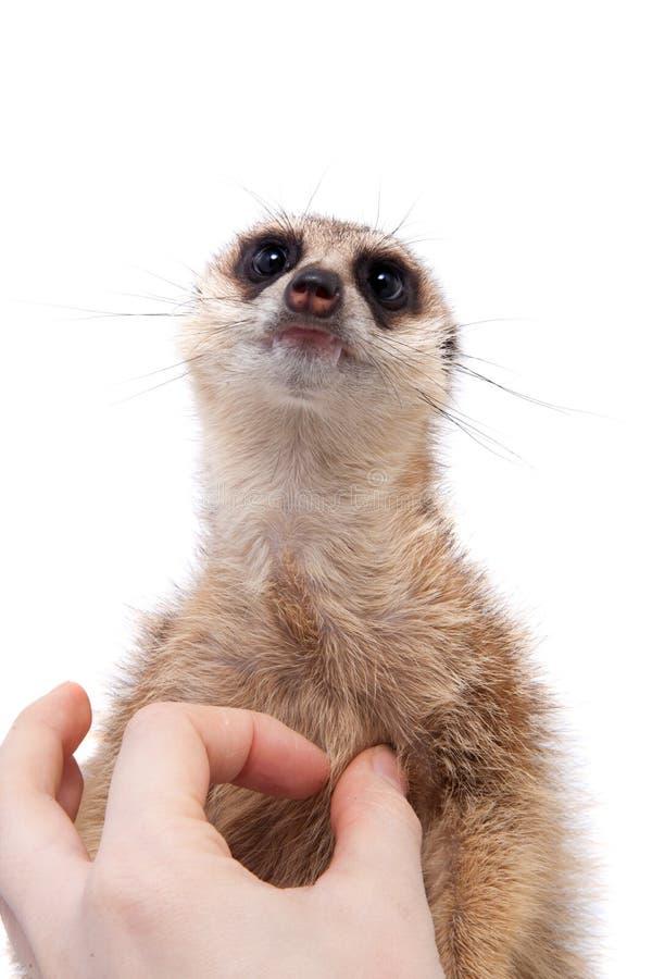 Meerkat of suricate werpt, 2 maand oud, op wit stock fotografie