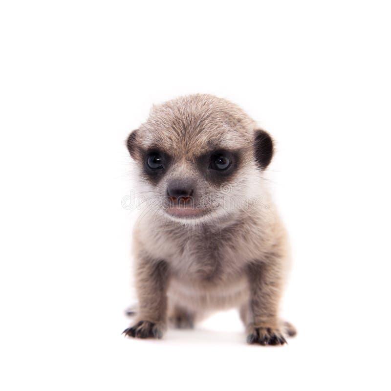 Meerkat of suricate werpt, 2 maand oud, op wit royalty-vrije stock afbeeldingen