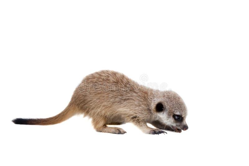 Meerkat of suricate werpt, 2 maand oud, op wit royalty-vrije stock foto's