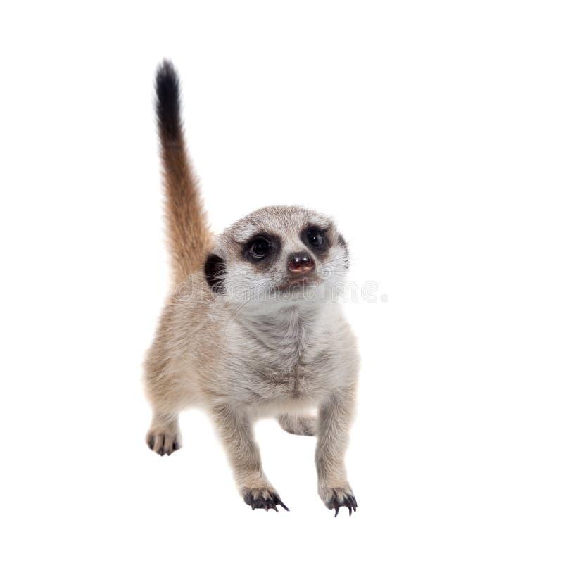 Meerkat of suricate werpt, 2 maand oud, op wit royalty-vrije stock fotografie