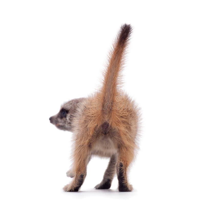 Meerkat of suricate werpt, 2 maand oud, op wit royalty-vrije stock afbeelding