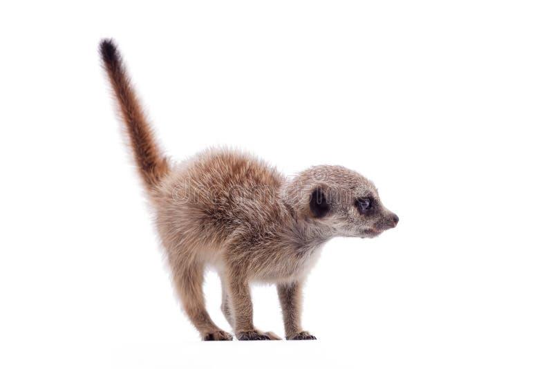 Meerkat of suricate werpt, 2 maand oud, op wit stock foto's