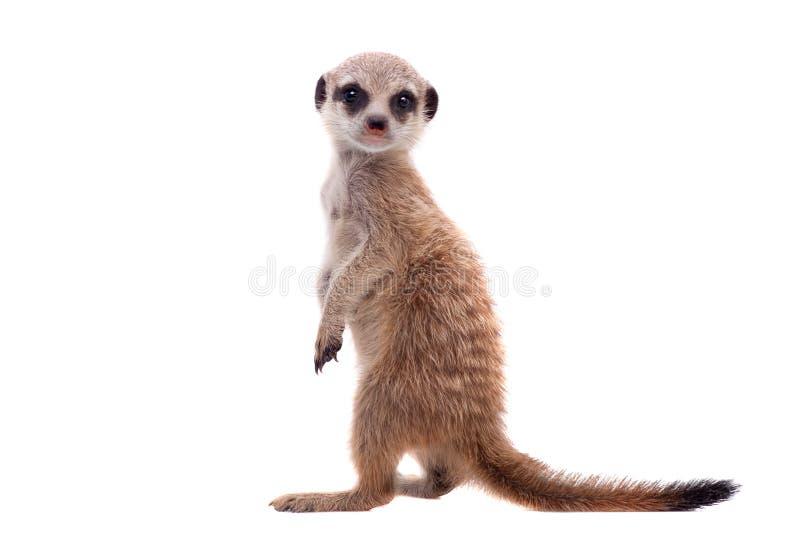 Meerkat of suricate werpt, 2 maand oud, op wit stock afbeeldingen