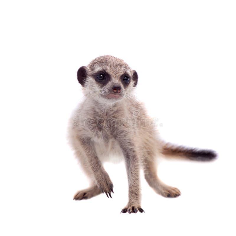 Meerkat of suricate werpt, 2 maand oud, op wit stock afbeelding