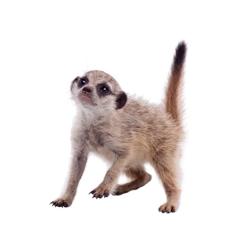 Meerkat of suricate werpt, 2 maand oud, op wit stock foto