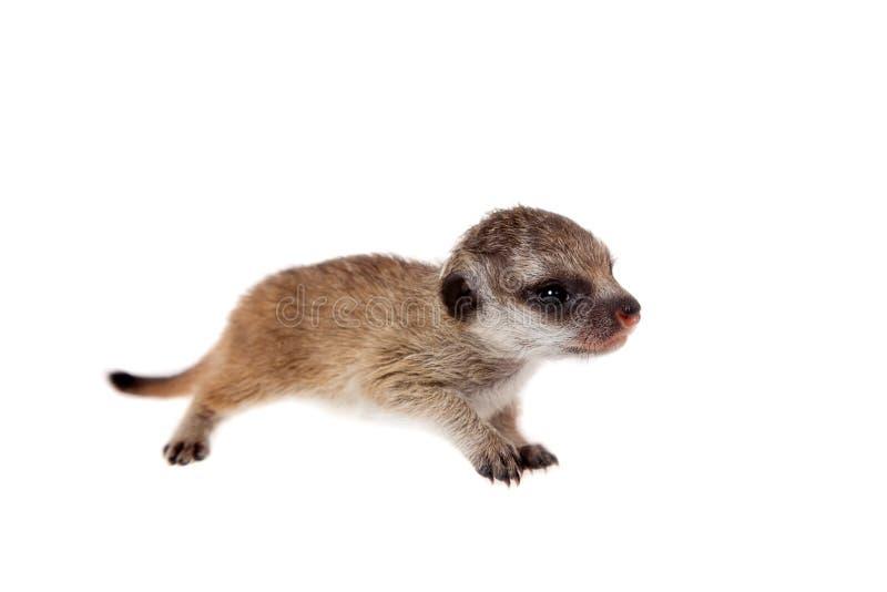 Meerkat of suricate werpt, 2 weken oud, op wit royalty-vrije stock fotografie