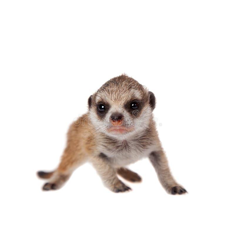 Meerkat of suricate werpt, 2 weken oud, op wit stock fotografie