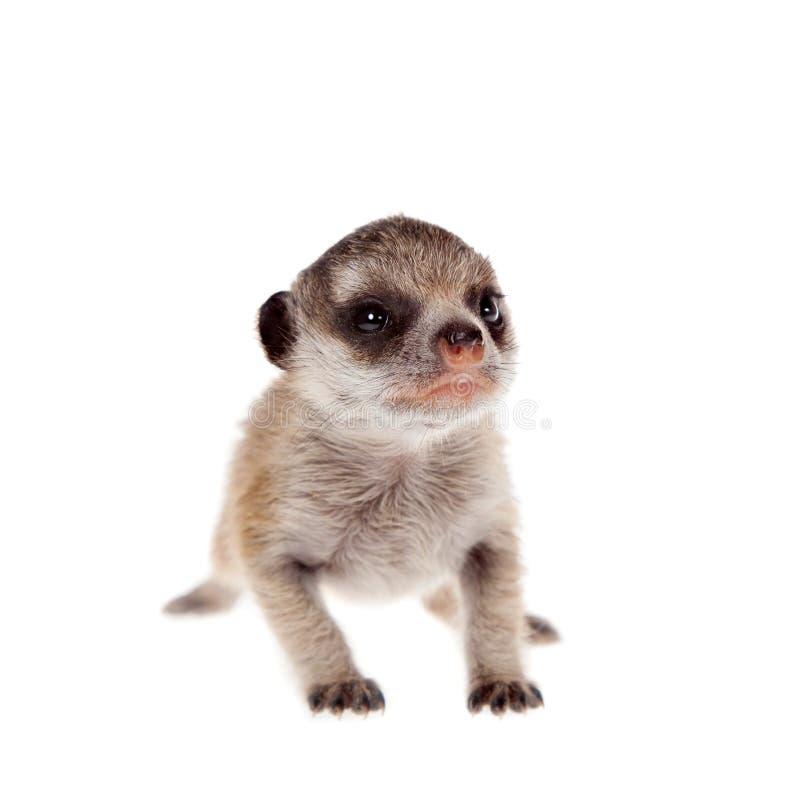 Meerkat of suricate werpt, 2 weken oud, op wit stock foto's