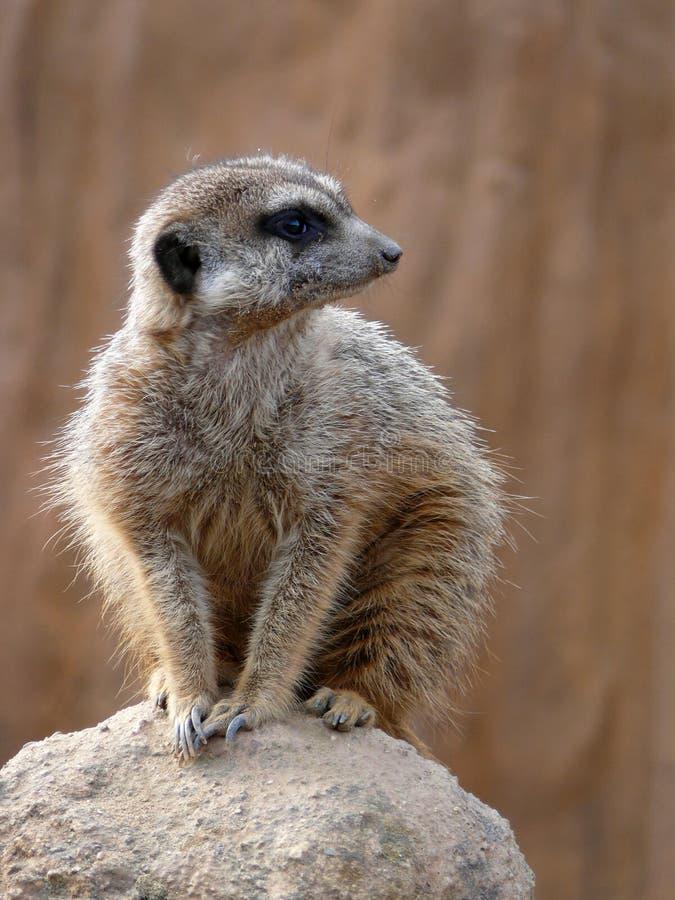 Meerkat - suricatta del Suricata fotos de archivo