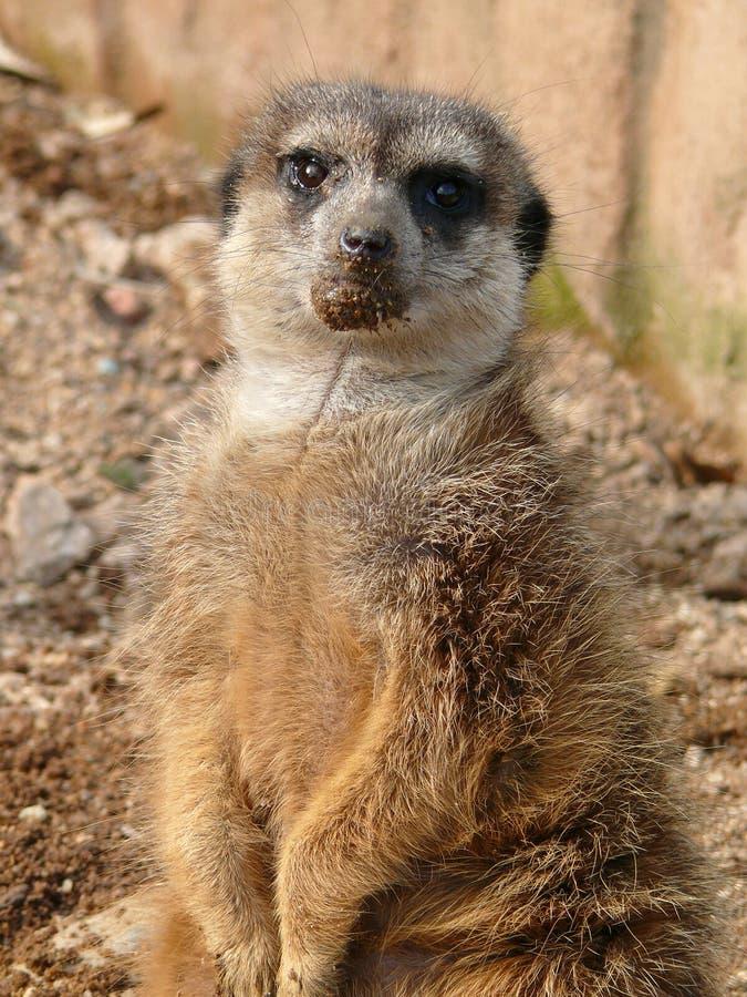 Meerkat - suricatta del Suricata fotos de archivo libres de regalías