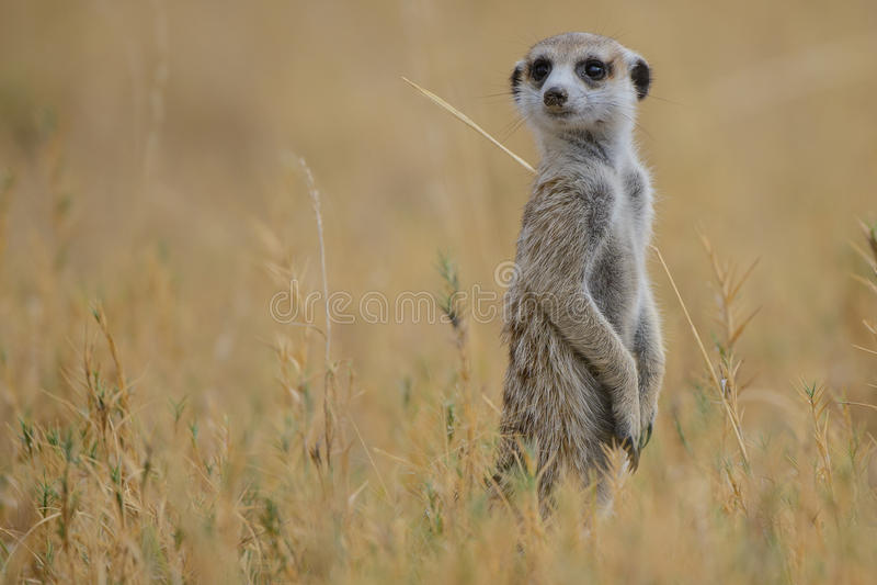 Meerkat (suricatta del Suricata) imagen de archivo libre de regalías
