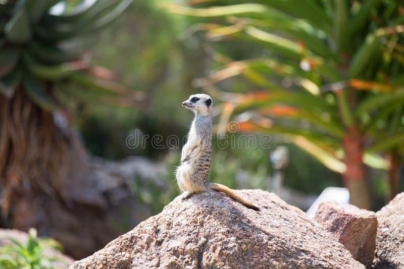 Meerkat (suricatta Suricata), также известное как suricate Одичалый l стоковые фотографии rf