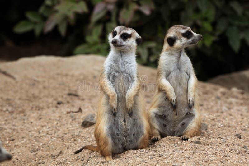 Meerkat (suricatta Suricata), также известное как suricate стоковое фото