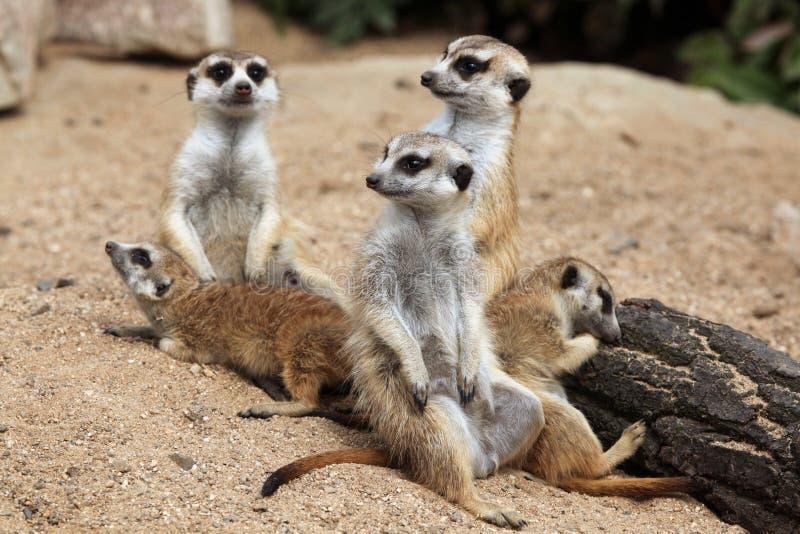 Meerkat (suricatta Suricata), также известное как suricate стоковая фотография