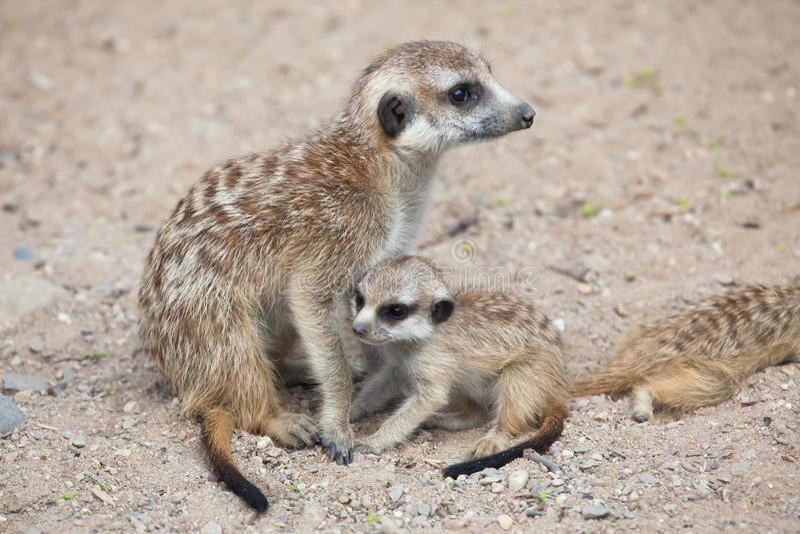 Meerkat (suricatta Suricata), также известное как suricate стоковые фотографии rf