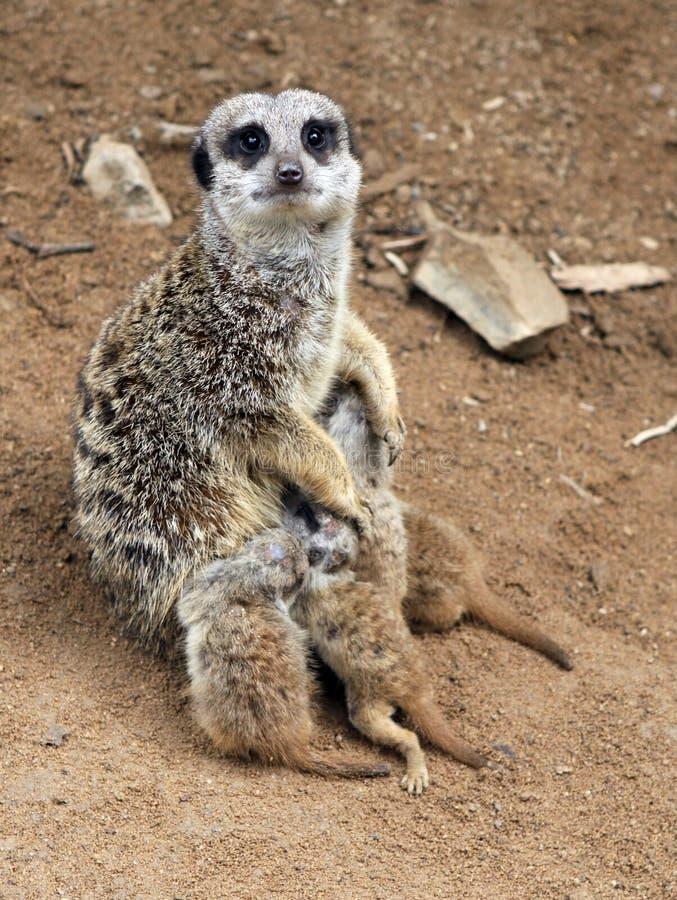Meerkat (suricatta Suricata) royalty-vrije stock foto's