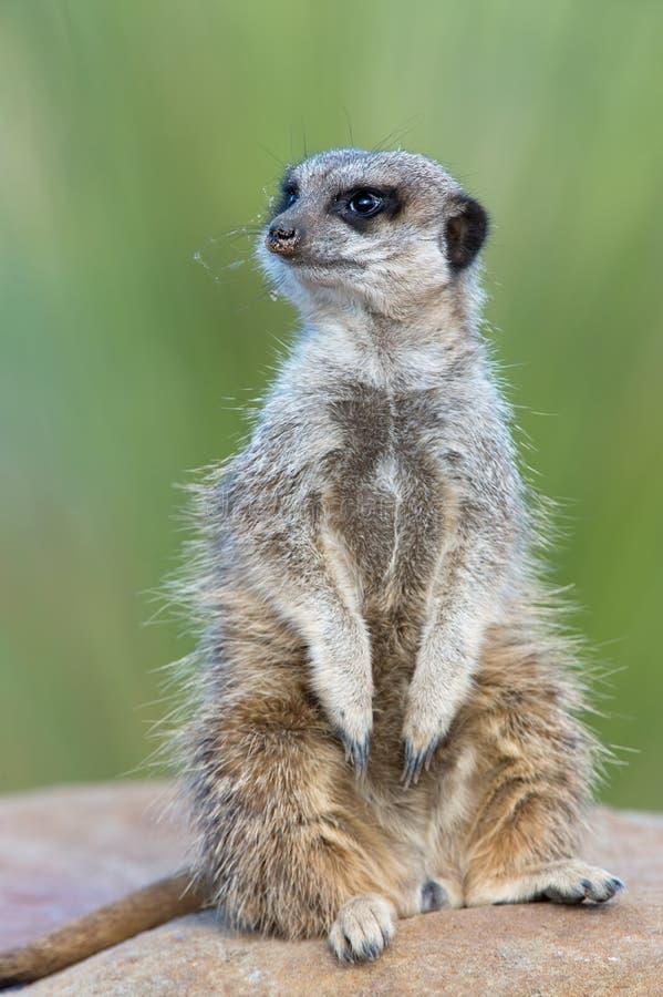 Meerkat (suricatta Suricata) стоковая фотография rf