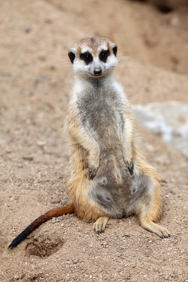 Meerkat (suricatta Suricata) стоковые изображения rf